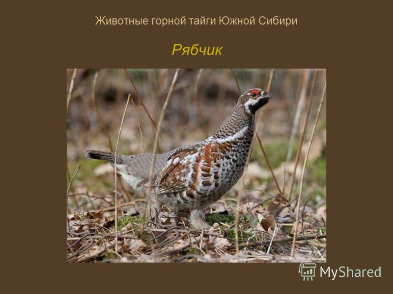 Животные горной тайги Южной Сибири Рябчик