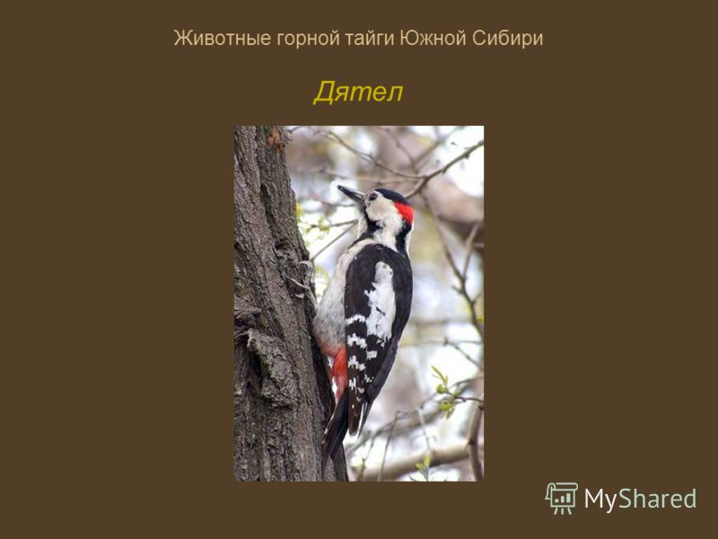 Горной тайги южной сибири рябчик