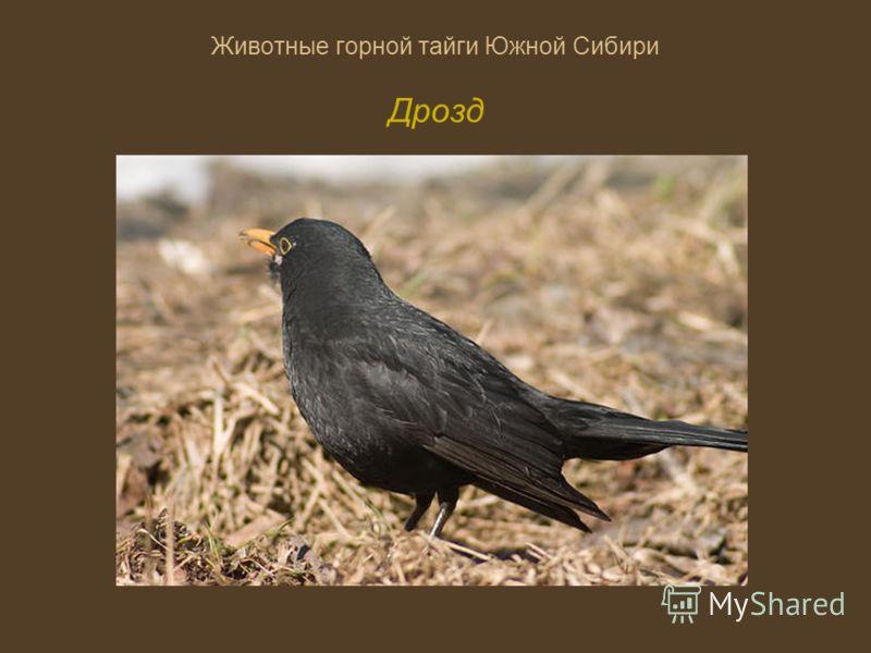 Животные горной тайги Южной Сибири Дрозд