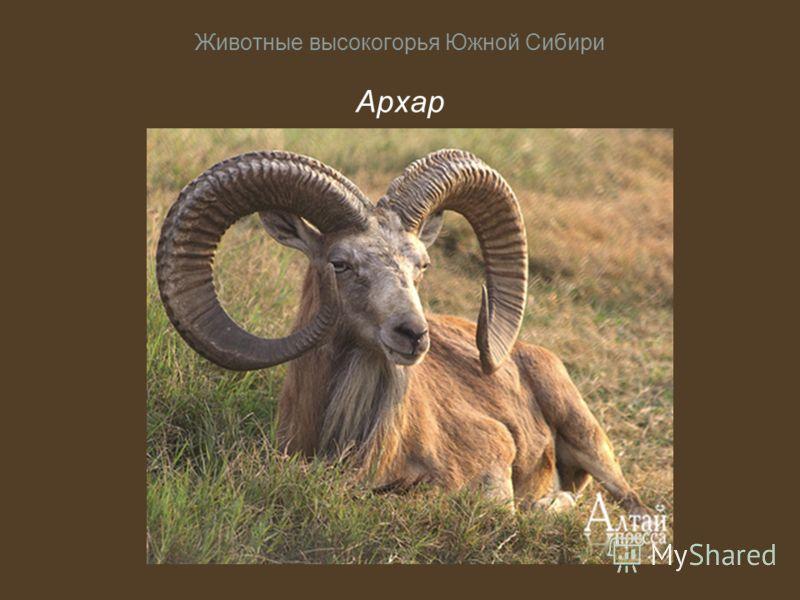 Животные высокогорья Южной Сибири Архар
