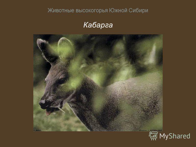 Животные высокогорья Южной Сибири Кабарга