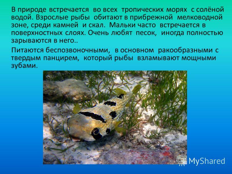 В природе встречается во всех тропических морях с солёной водой. Взрослые рыбы обитают в прибрежной мелководной зоне, среди камней и скал. Мальки часто встречается в поверхностных слоях. Очень любят песок, иногда полностью зарываются в него.. Питаютс