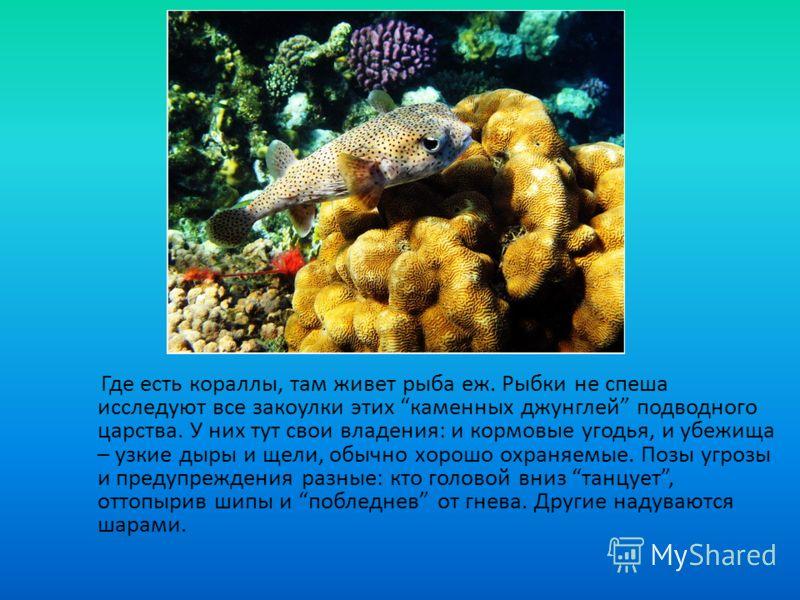 Где есть кораллы, там живет рыба еж. Рыбки не спеша исследуют все закоулки этих каменных джунглей подводного царства. У них тут свои владения: и кормовые угодья, и убежища – узкие дыры и щели, обычно хорошо охраняемые. Позы угрозы и предупреждения ра