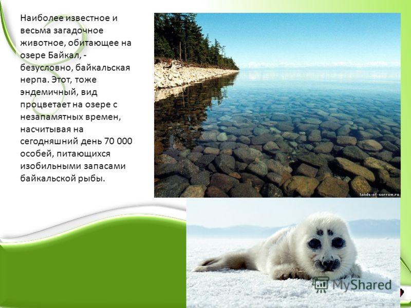 Наиболее известное и весьма загадочное животное, обитающее на озере Байкал, - безусловно, байкальская нерпа. Этот, тоже эндемичный, вид процветает на озере с незапамятных времен, насчитывая на сегодняшний день 70 000 особей, питающихся изобильными за