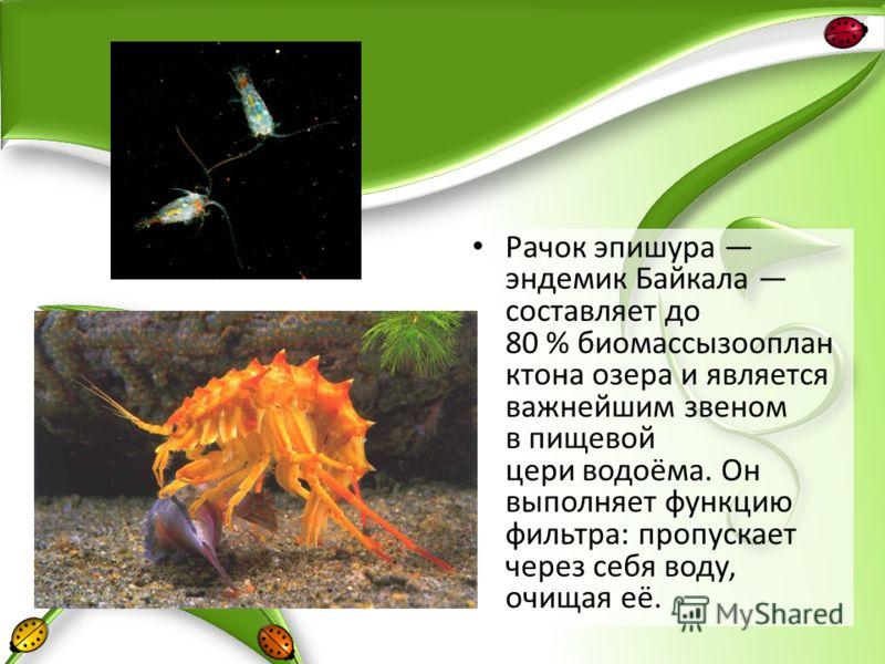 Рачок эпишура эндемик Байкала составляет до 80 % биомассызооплан ктона озера и является важнейшим звеном в пищевой цери водоёма. Он выполняет функцию фильтра: пропускает через себя воду, очищая её.