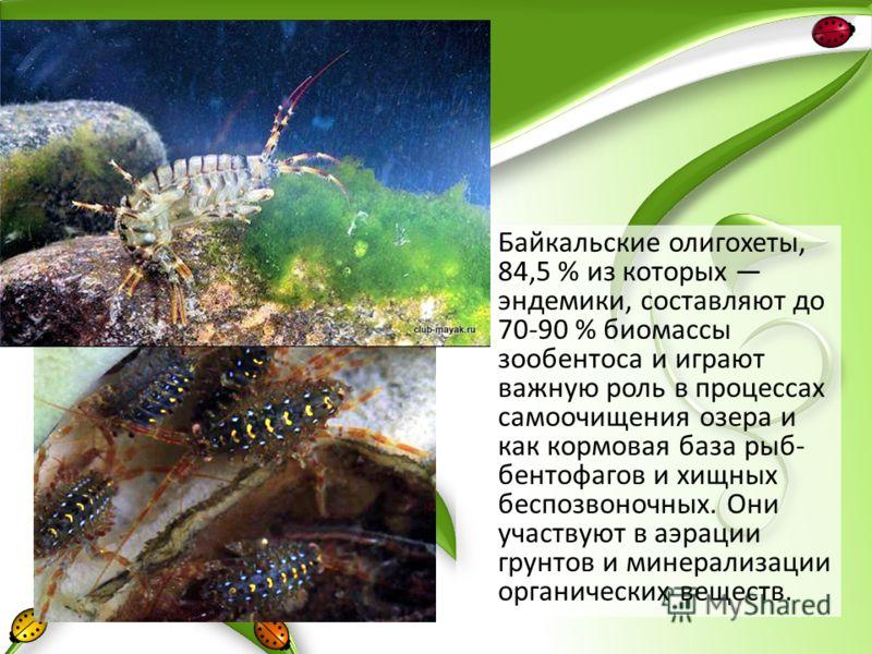 Байкальские олигохеты, 84,5 % из которых эндемики, составляют до 70-90 % биомассы зообентоса и играют важную роль в процессах самоочищения озера и как кормовая база рыб- бентофагов и хищных беспозвоночных. Они участвуют в аэрации грунтов и минерализа