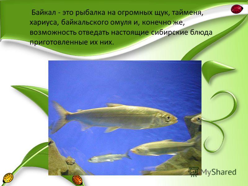 Байкал - это рыбалка на огромных щук, тайменя, хариуса, байкальского омуля и, конечно же, возможность отведать настоящие сибирские блюда приготовленные их них.