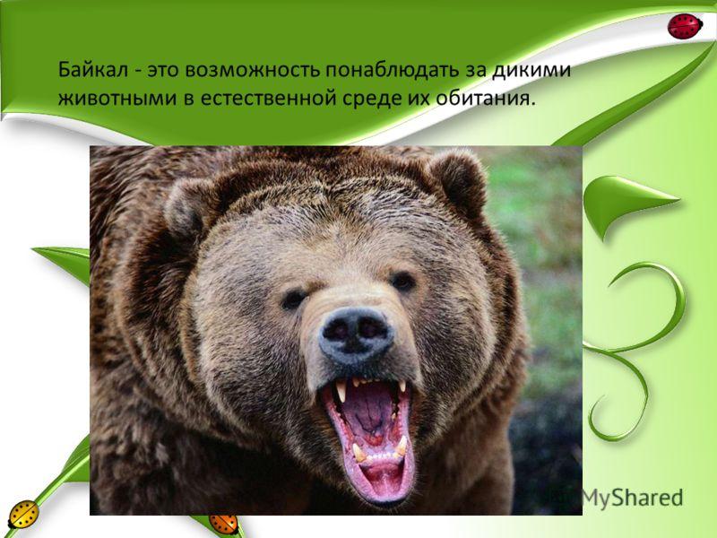 Байкал - это возможность понаблюдать за дикими животными в естественной среде их обитания.