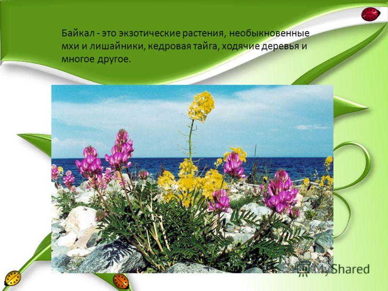 Байкал - это экзотические растения, необыкновенные мхи и лишайники, кедровая тайга, ходячие деревья и многое другое.