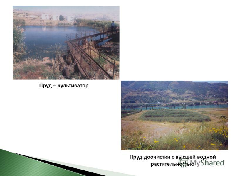 Пруд – культиватор Пруд доочистки с высшей водной растительностью