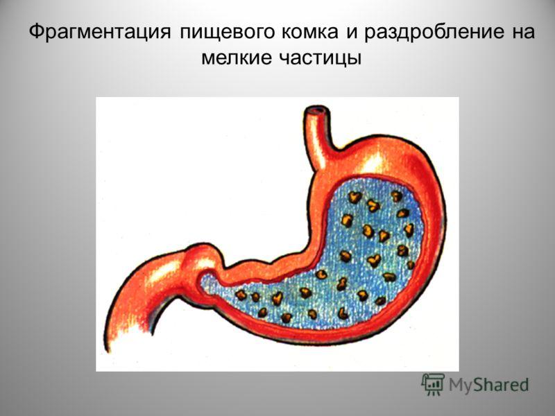 Фрагментация пищевого комка и раздробление на мелкие частицы