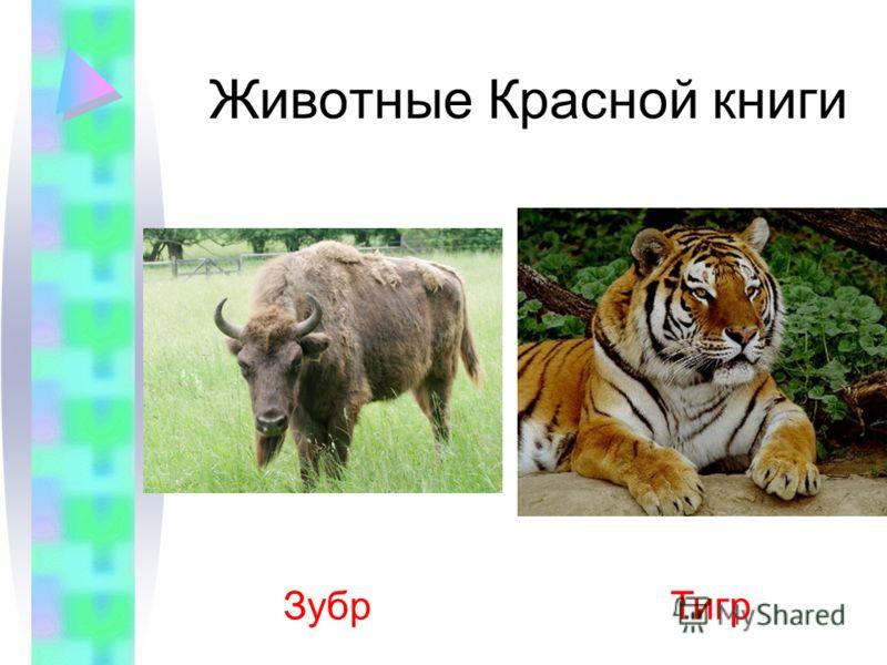 Животные Красной книги Зубр Тигр
