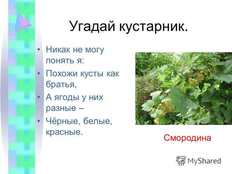 Угадай кустарник. Никак не могу понять я: Похожи кусты как братья, А ягоды у них разные – Чёрные, белые, красные. Смородина