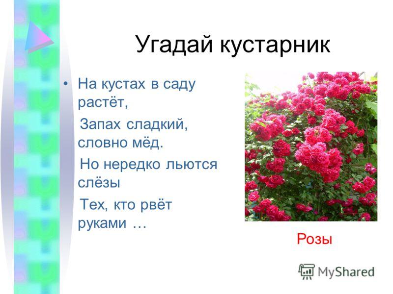 Угадай кустарник На кустах в саду растёт, Запах сладкий, словно мёд. Но нередко льются слёзы Тех, кто рвёт руками … Розы