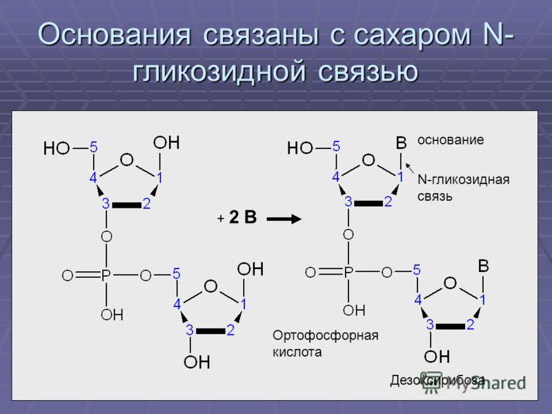 Основания связаны с сахаром N- гликозидной связью Дезоксирибоза Ортофосфорная кислота основание + 2 В N-гликозидная связь