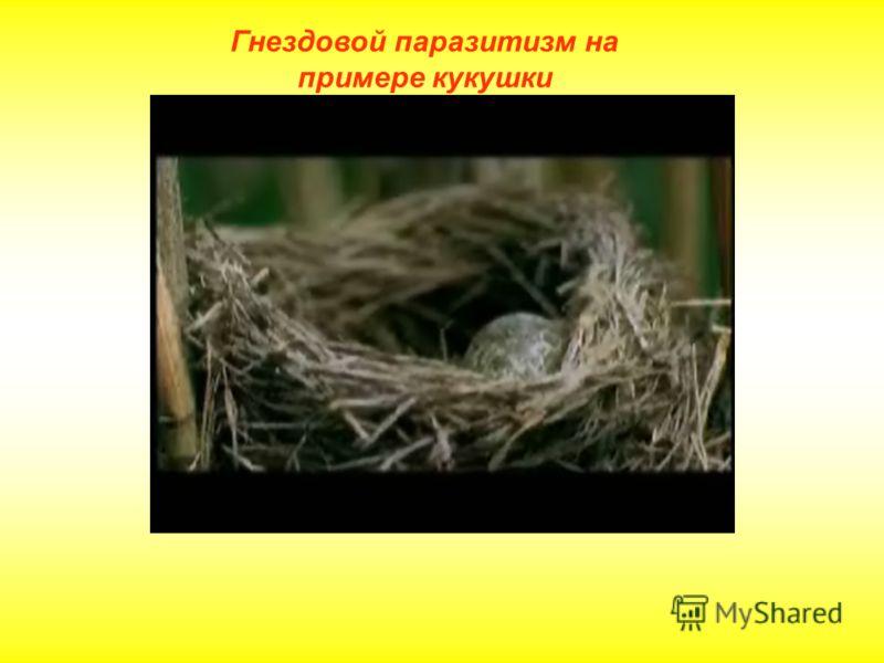Гнездовой паразитизм на примере кукушки