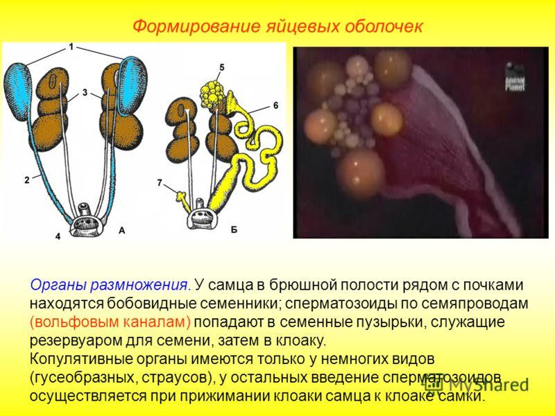 Формирование яйцевых оболочек Органы размножения. У самца в брюшной полости рядом с почками находятся бобовидные семенники; сперматозоиды по семяпроводам (вольфовым каналам) попадают в семенные пузырьки, служащие резервуаром для семени, затем в клоак