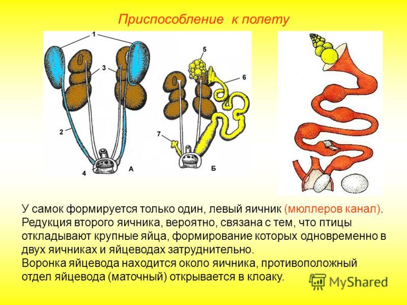 Приспособление к полету У самок формируется только один, левый яичник (мюллеров канал). Редукция второго яичника, вероятно, связана с тем, что птицы откладывают крупные яйца, формирование которых одновременно в двух яичниках и яйцеводах затруднительн