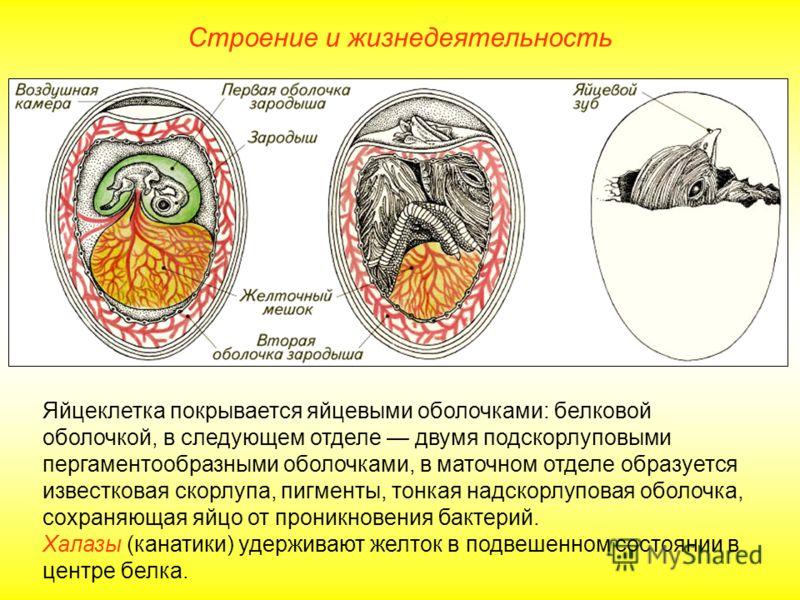 Строение и жизнедеятельность Яйцеклетка покрывается яйцевыми оболочками: белковой оболочкой, в следующем отделе двумя подскорлуповыми пергаментообразными оболочками, в маточном отделе образуется известковая скорлупа, пигменты, тонкая надскорлуповая о