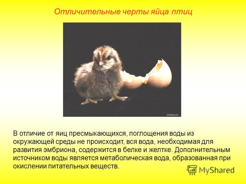 Отличительные черты яйца птиц В отличие от яиц пресмыкающихся, поглощения воды из окружающей среды не происходит, вся вода, необходимая для развития эмбриона, содержится в белке и желтке. Дополнительным источником воды является метаболическая вода, о