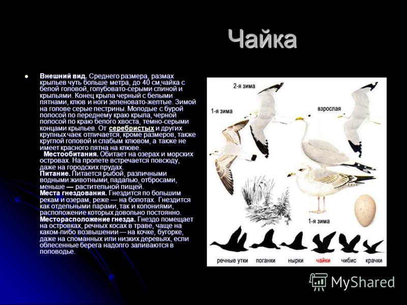 Чайка Чайка Внешний вид. Среднего размера, размах крыльев чуть больше метра, до 40 см,чайка с белой головой, голубовато-серыми спиной и крыльями. Конец крыла черный с белыми пятнами, клюв и ноги зеленовато-желтые. Зимой на голове серые пестрины. Моло