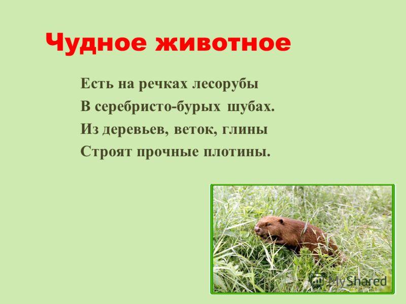 Чудное животное Есть на речках лесорубы В серебристо-бурых шубах. Из деревьев, веток, глины Строят прочные плотины.