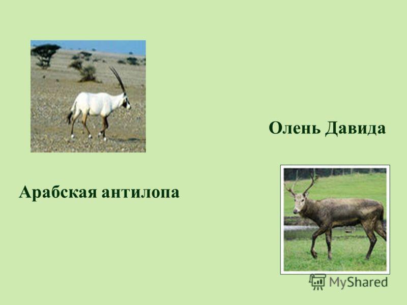 Олень Давида Арабская антилопа