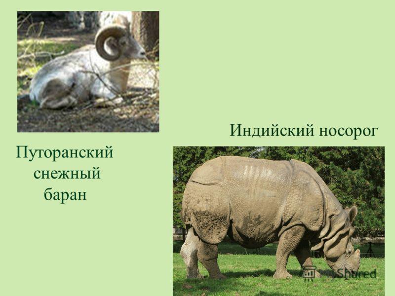 Путоранский снежный баран Индийский носорог