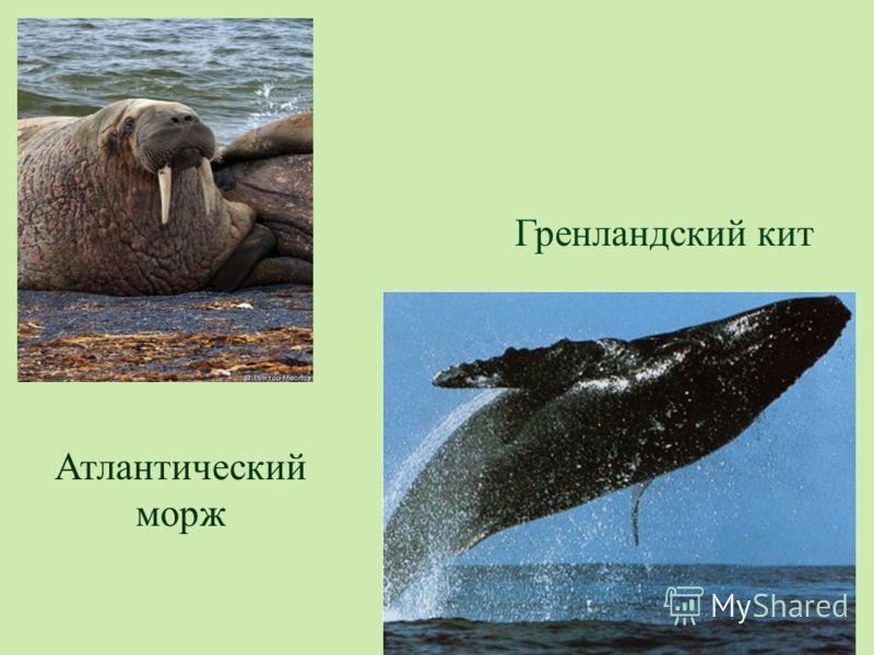 Атлантический морж Гренландский кит