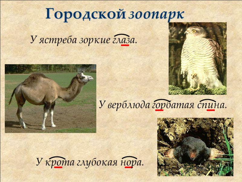 Городской зоопарк У ястреба зоркие глаза. У верблюда горбатая спина. У крота глубокая нора.