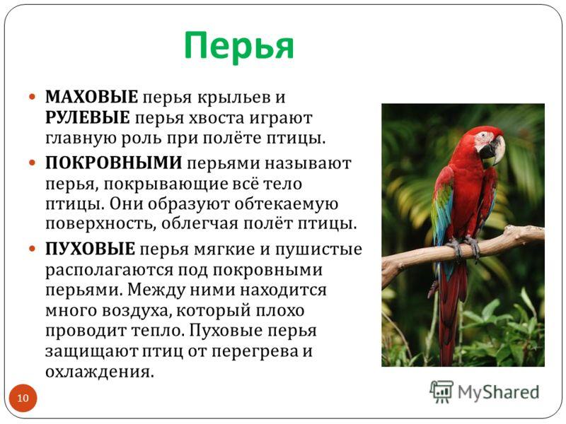 Перья МАХОВЫЕ перья крыльев и РУЛЕВЫЕ перья хвоста играют главную роль при полёте птицы. ПОКРОВНЫМИ перьями называют перья, покрывающие всё тело птицы. Они образуют обтекаемую поверхность, облегчая полёт птицы. ПУХОВЫЕ перья мягкие и пушистые распола