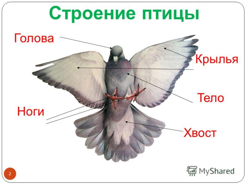 Голова Крылья Ноги Хвост Тело Строение птицы 2
