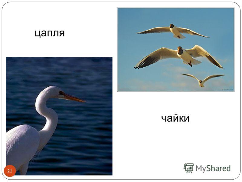 цапля чайки 21