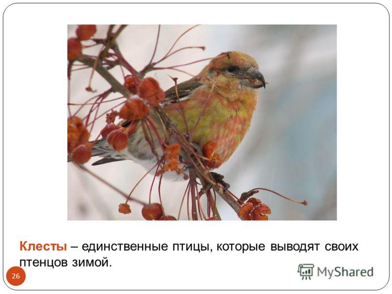 Клесты – единственные птицы, которые выводят своих птенцов зимой. 26
