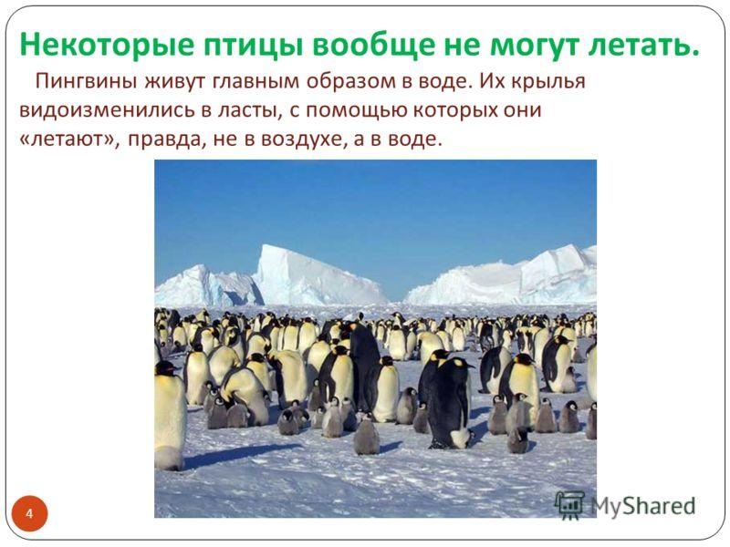 Некоторые птицы вообще не могут летать. Пингвины живут главным образом в воде. Их крылья видоизменились в ласты, с помощью которых они « летают », правда, не в воздухе, а в воде. 4