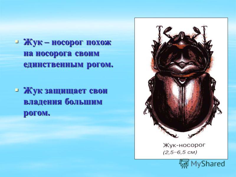 Жук – носорог похож на носорога своим единственным рогом. Жук – носорог похож на носорога своим единственным рогом. Жук защищает свои владения большим рогом. Жук защищает свои владения большим рогом.