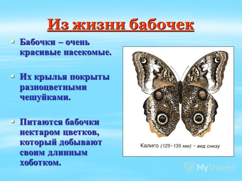 Из жизни бабочек Бабочки – очень красивые насекомые. Бабочки – очень красивые насекомые. Их крылья покрыты разноцветными чешуйками. Их крылья покрыты разноцветными чешуйками. Питаются бабочки нектаром цветков, который добывают своим длинным хоботком.