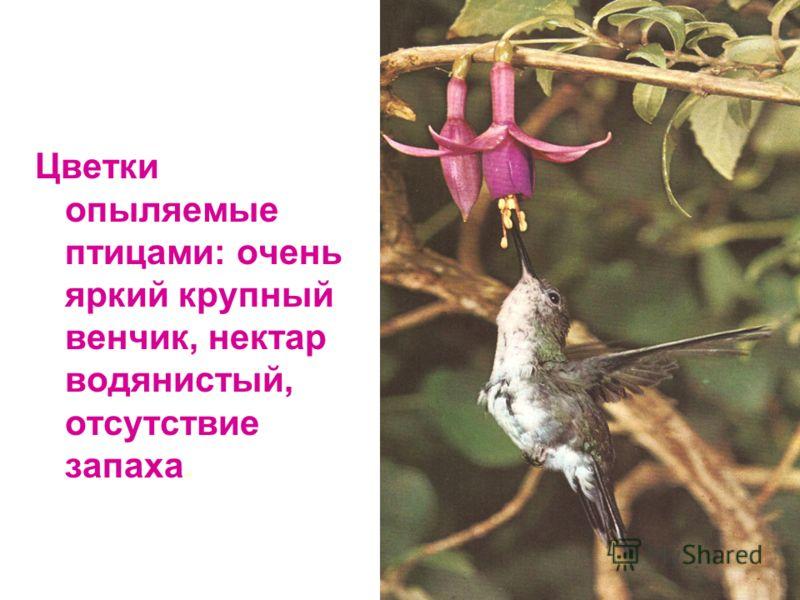 Цветки опыляемые птицами: очень яркий крупный венчик, нектар водянистый, отсутствие запаха.
