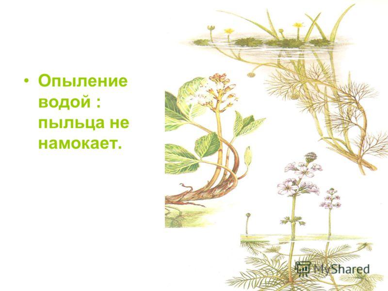 Опыление водой : пыльца не намокает.