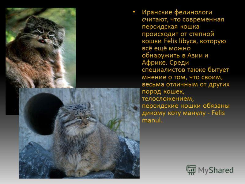 Иранские фелинологи считают, что современная персидская кошка происходит от степной кошки Felis libyca, которую всё ещё можно обнаружить в Азии и Африке. Среди специалистов также бытует мнение о том, что своим, весьма отличным от других пород кошек,