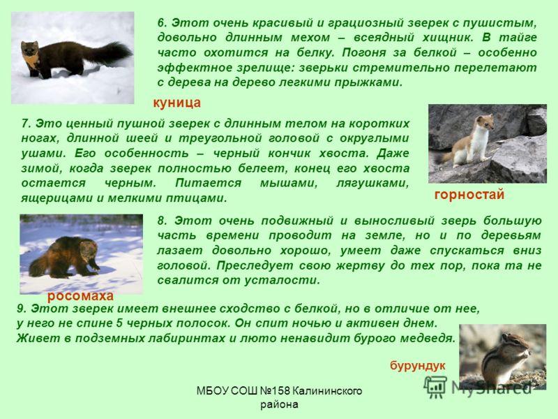 МБОУ СОШ 158 Калининского района 7. Это ценный пушной зверек с длинным телом на коротких ногах, длинной шеей и треугольной головой с округлыми ушами. Его особенность – черный кончик хвоста. Даже зимой, когда зверек полностью белеет, конец его хвоста