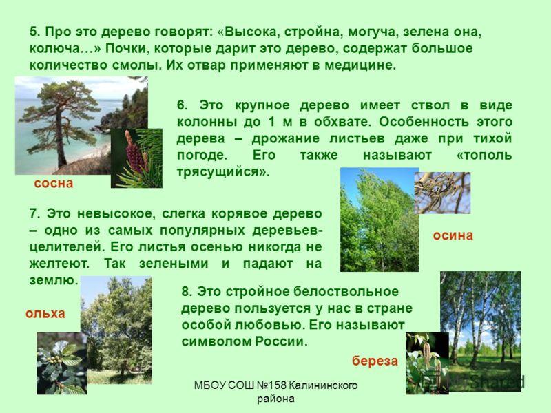 МБОУ СОШ 158 Калининского района осина 5. Про это дерево говорят: «Высока, стройна, могуча, зелена она, колюча…» Почки, которые дарит это дерево, содержат большое количество смолы. Их отвар применяют в медицине. 6. Это крупное дерево имеет ствол в ви