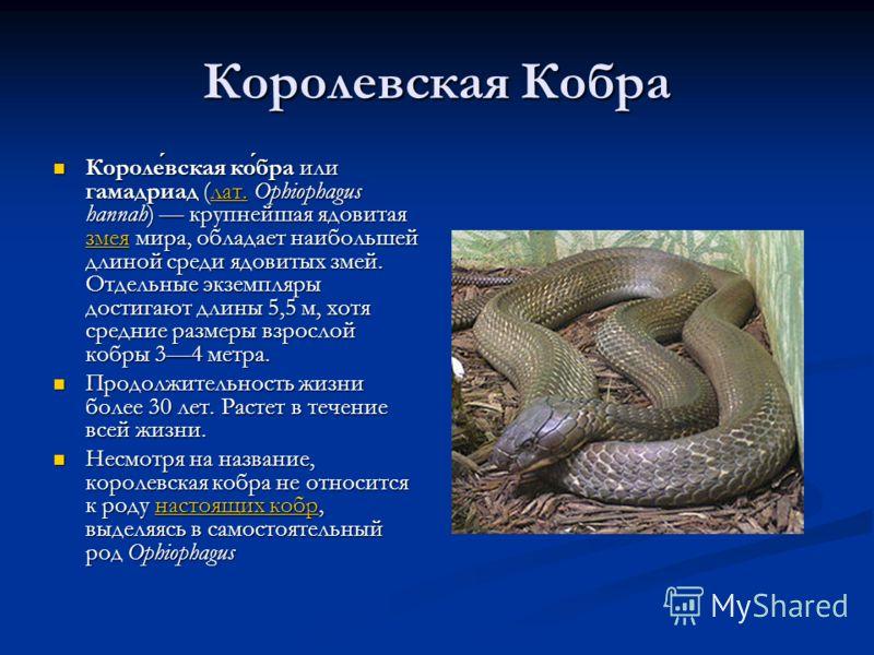 Королевская Кобра Королевская кобра или гамадриад (лат. Ophiophagus hannah) крупнейшая ядовитая змея мира, обладает наибольшей длиной среди ядовитых з