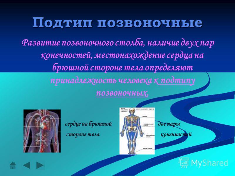Подтип позвоночные Развитие позвоночного столба, наличие двух пар конечностей, местонахождение сердца на брюшной стороне тела определяют принадлежность человека к подтипу позвоночных. сердце на брюшной две пары стороне тела конечностей