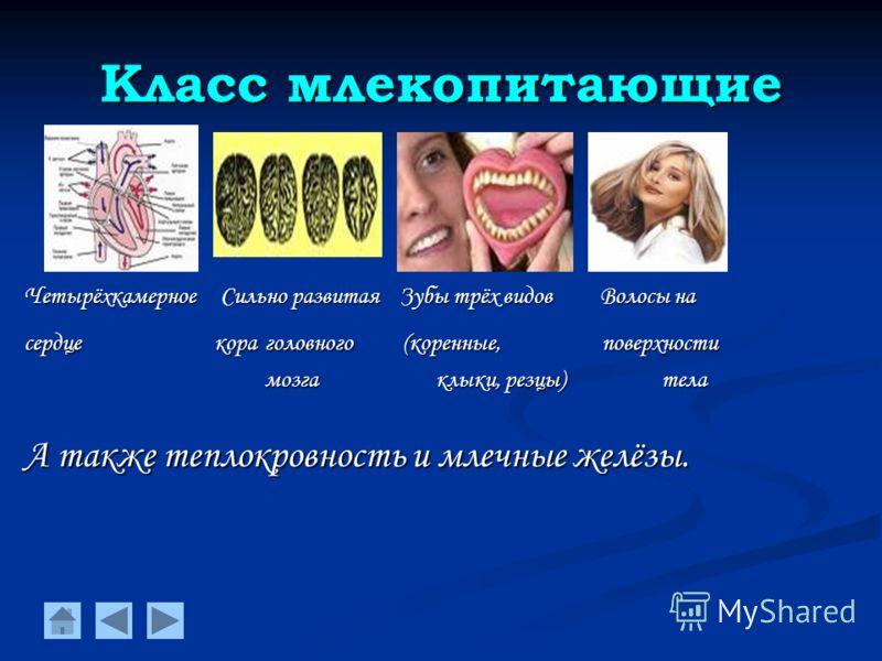 Класс млекопитающие Четырёхкамерное Сильно развитая Зубы трёх видов Волосы на сердце кора головного (коренные, поверхности мозга клыки, резцы) тела мозга клыки, резцы) тела А также теплокровность и млечные желёзы.