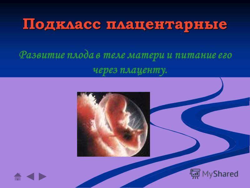 Подкласс плацентарные Развитие плода в теле матери и питание его через плаценту.