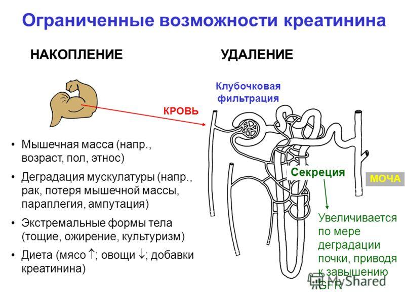 Ограниченные возможности креатинина Мышечная масса (напр., возраст, пол, этнос) Деградация мускулатуры (напр., рак, потеря мышечной массы, параплегия, ампутация) Экстремальные формы тела (тощие, ожирение, культуризм) Диета (мясо ; овощи ; добавки кре