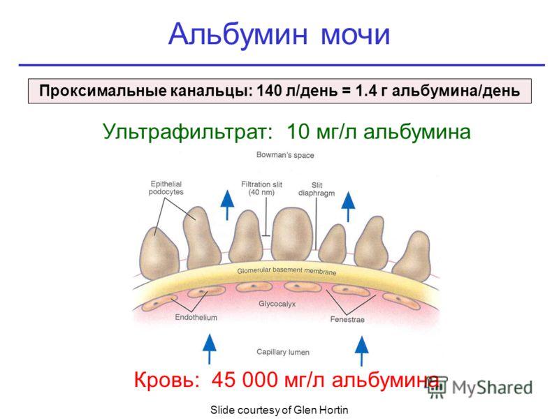 Кровь: 45 000 мг/л альбумина Slide courtesy of Glen Hortin Альбумин мочи Ультрафильтрат: 10 мг/л альбумина Проксимальные канальцы: 140 л/день = 1.4 г альбумина/день