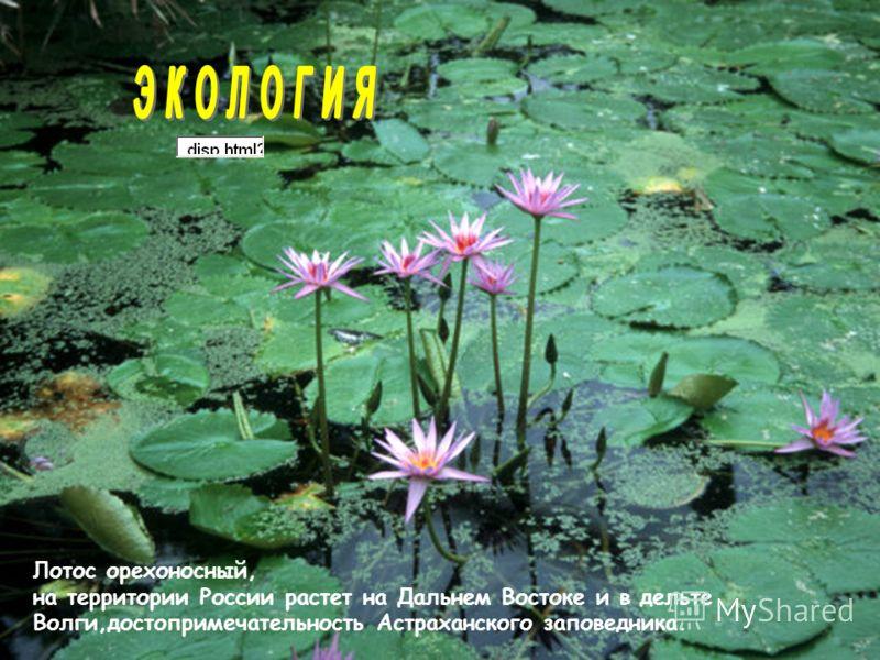 Лотос орехоносный, на территории России растет на Дальнем Востоке и в дельте Волги,достопримечательность Астраханского заповедника.
