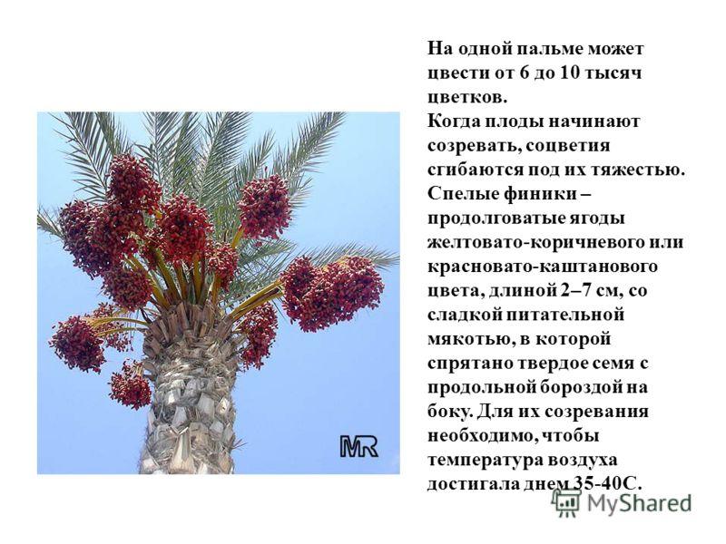 На одной пальме может цвести от 6 до 10 тысяч цветков. Когда плоды начинают созревать, соцветия сгибаются под их тяжестью. Спелые финики – продолговатые ягоды желтовато-коричневого или красновато-каштанового цвета, длиной 2–7 см, со сладкой питательн